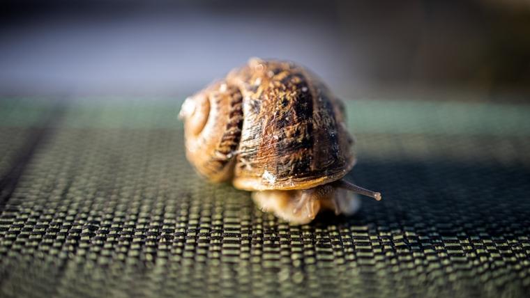 Hodowla ślimaka Aspersa Muller w Helixfarm